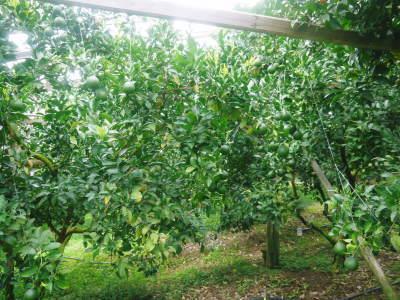 デコポン(肥後ポン) 果実の成長の様子(2021) 来年の花芽となる夏芽も元気に育っています!(後編) _a0254656_18135661.jpg