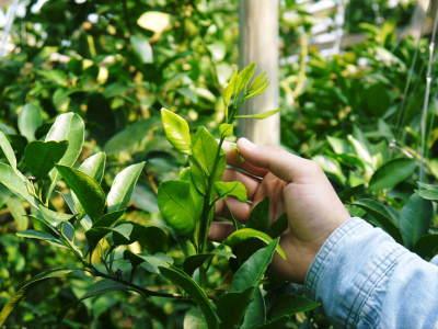 デコポン(肥後ポン) 果実の成長の様子(2021) 来年の花芽となる夏芽も元気に育っています!(後編) _a0254656_18183834.jpg