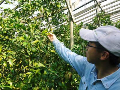 デコポン(肥後ポン) 果実の成長の様子(2021) 来年の花芽となる夏芽も元気に育っています!(後編) _a0254656_18292143.jpg