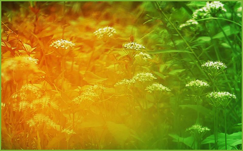 ニラとキバナコスモスのお花畑_c0405385_13332108.jpg