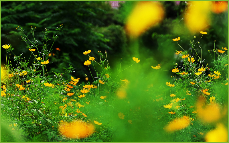 ニラとキバナコスモスのお花畑_c0405385_13360032.jpg
