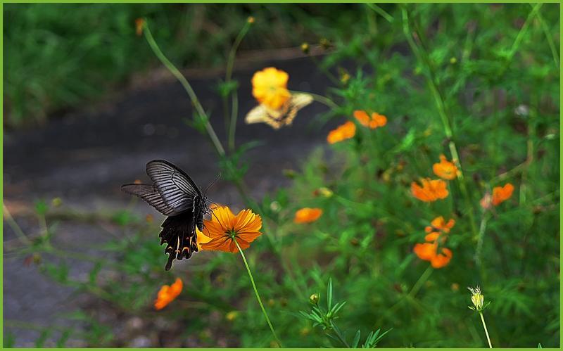 ニラとキバナコスモスのお花畑_c0405385_13361445.jpg