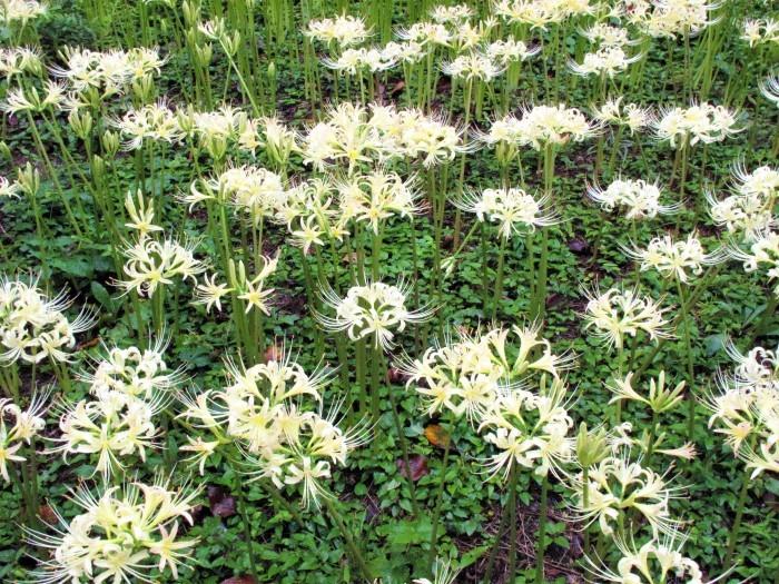 大宮公園 彼岸花が満開に_d0150720_16052617.jpg