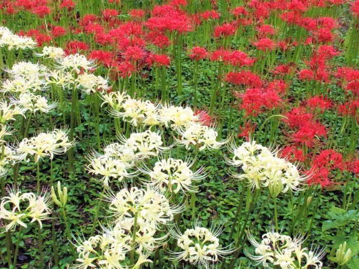 大宮公園 彼岸花が満開に_d0150720_16054556.jpg
