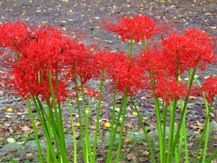 大宮公園 彼岸花が満開に_d0150720_16055901.jpg