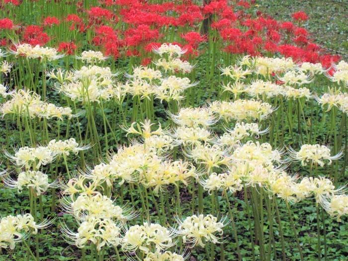 大宮公園 彼岸花が満開に_d0150720_16063076.jpg