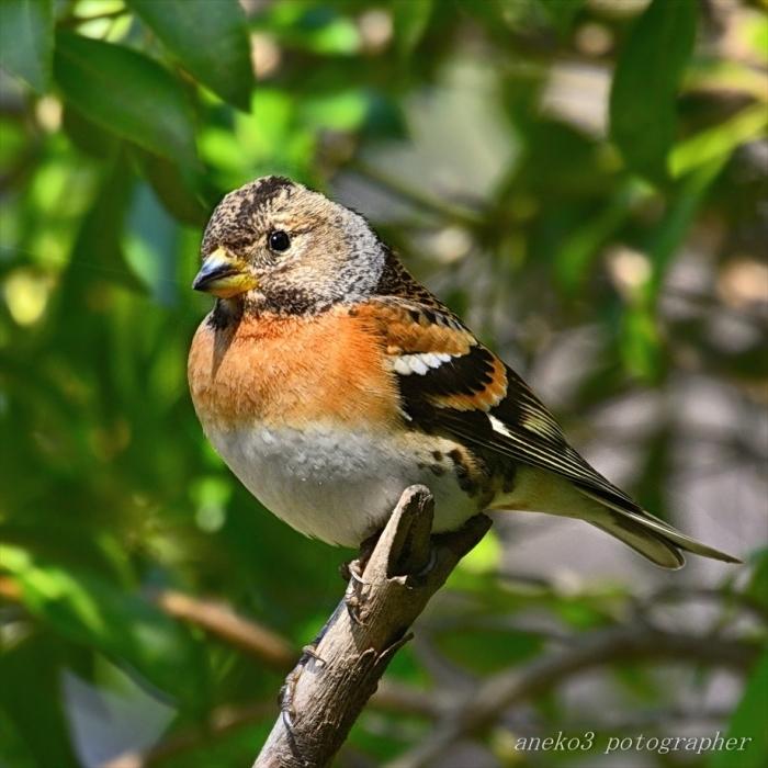 みちのく小鳥たち24_d0067934_15065869.jpg
