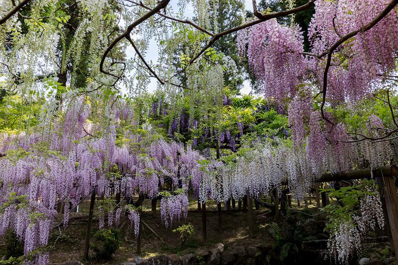 春日大社萬葉植物園の藤_f0155048_22244435.jpg