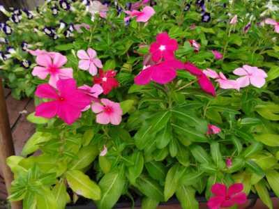ガーデンふ頭総合案内所前花壇の植替えR3.9.13_d0338682_16152091.jpg