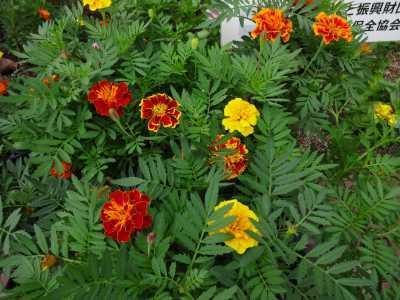ガーデンふ頭総合案内所前花壇の植替えR3.9.13_d0338682_16155142.jpg