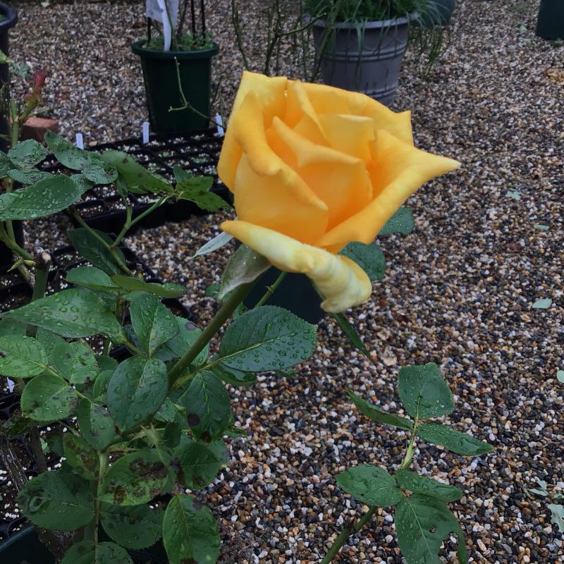台風の後に咲いているバラと冷凍ユリの経過_c0404712_09525852.jpg