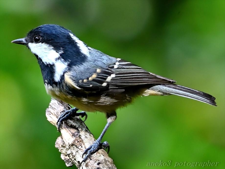 みちのく小鳥たち25_d0067934_08452502.jpg