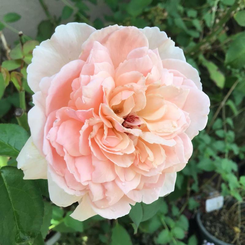台風の後に咲いているバラと冷凍ユリの経過_c0404712_10512979.jpg
