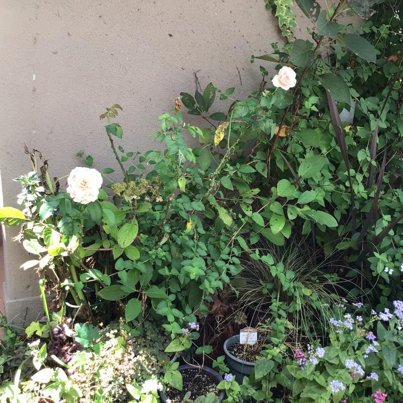 台風の後に咲いているバラと冷凍ユリの経過_c0404712_10513080.jpg