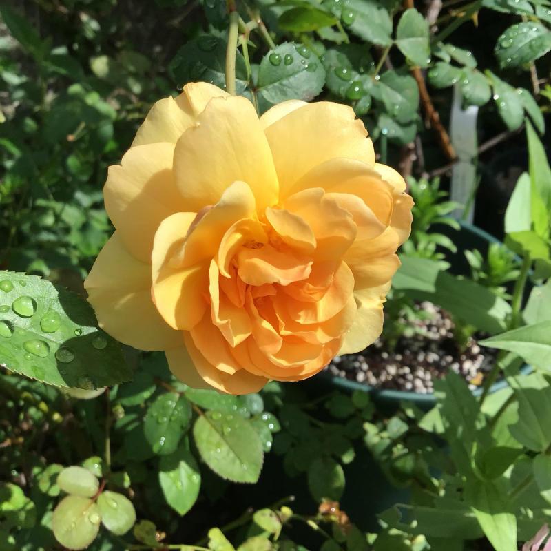 台風の後に咲いているバラと冷凍ユリの経過_c0404712_10513169.jpg
