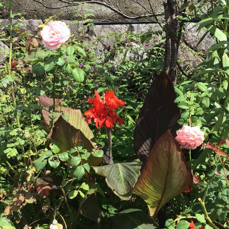 台風の後に咲いているバラと冷凍ユリの経過_c0404712_10514444.jpg