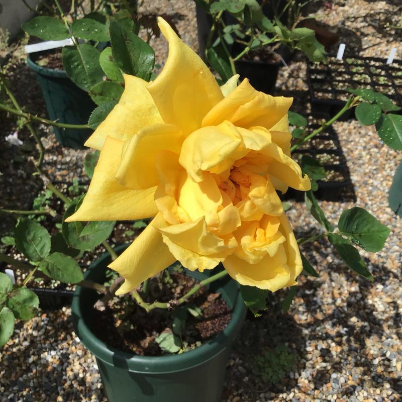 台風の後に咲いているバラと冷凍ユリの経過_c0404712_10514664.jpg