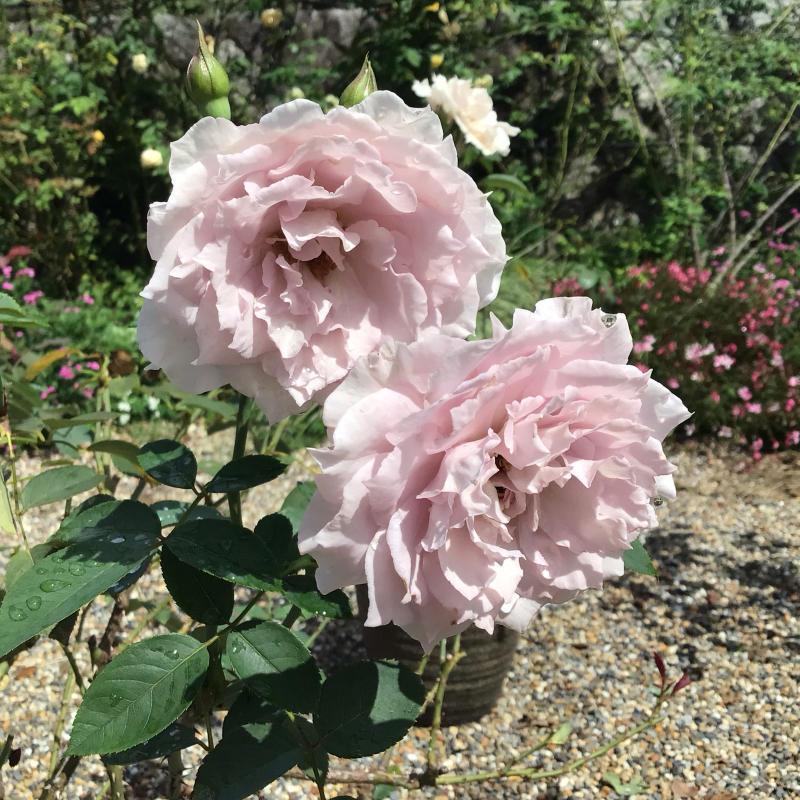 台風の後に咲いているバラと冷凍ユリの経過_c0404712_10514763.jpg
