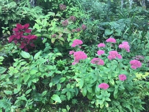 更科ショウマ ユーパトリウム…秋の庭_e0017562_21492694.jpeg