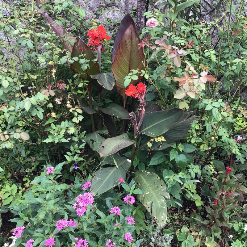 素敵!色んな葉っぱのカンナ達が綺麗♪&今日のマチコ_c0404712_11455124.jpg