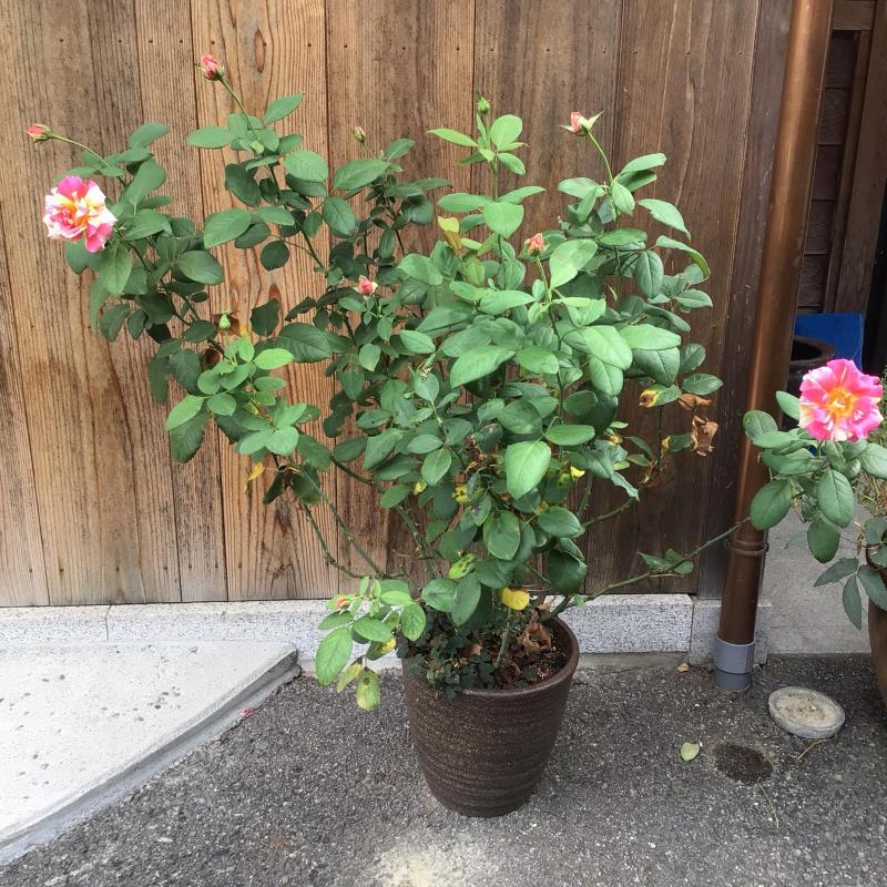 素敵!色んな葉っぱのカンナ達が綺麗♪&今日のマチコ_c0404712_11460570.jpg