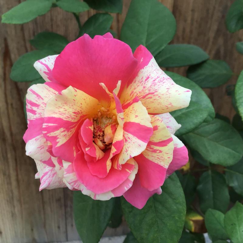 素敵!色んな葉っぱのカンナ達が綺麗♪&今日のマチコ_c0404712_11460617.jpg