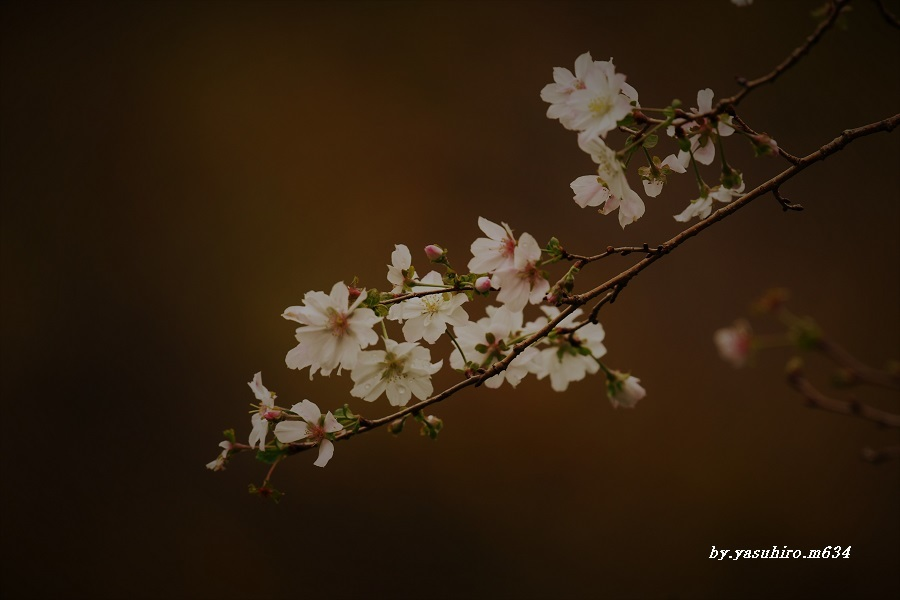 「冬桜」_b0343543_18371742.jpg