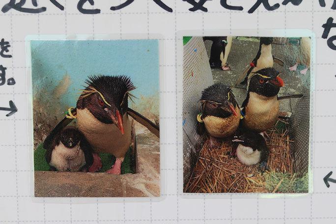 ミナミイワトビペンギンのヒナ(葛西臨海水族園)_b0355317_21482519.jpg