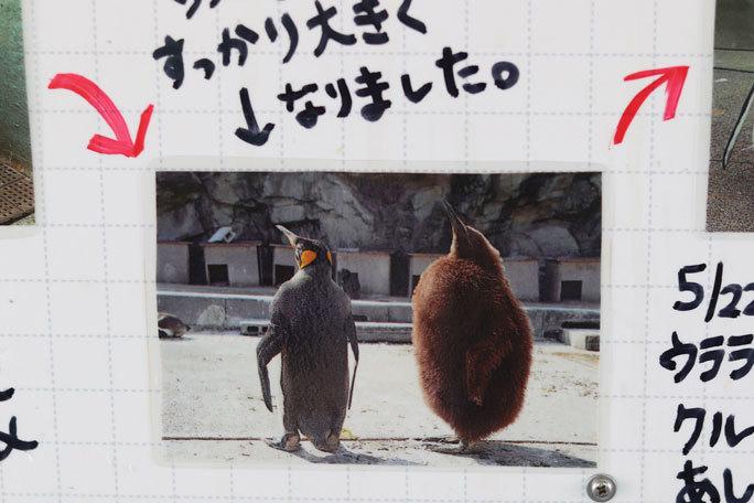 ミナミイワトビペンギンのヒナ(葛西臨海水族園)_b0355317_21591885.jpg