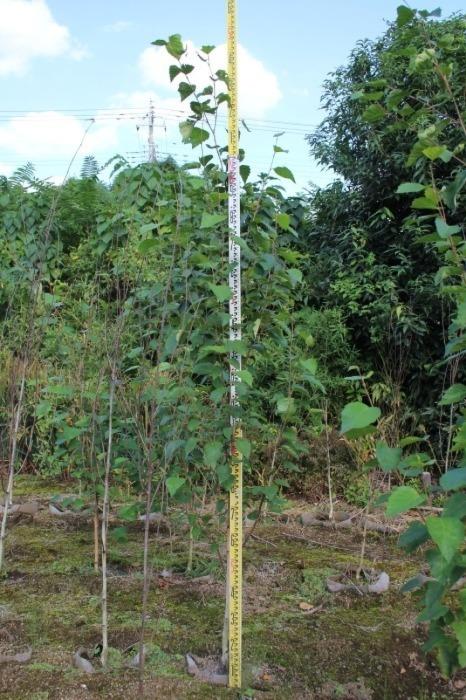 シラカバ ジャックモンティー 西洋シラカバ 販売 価格 値段 画像 写真 庭木 安行 植木 お問い合わせ商品_a0254743_15110553.jpg