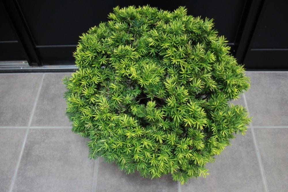 キンキャラ キンメキャラボク オウゴンキャラボク 玉仕立て 販売 画像 写真 価格 値段 植木 #キンキャラ_a0254743_15535734.jpg