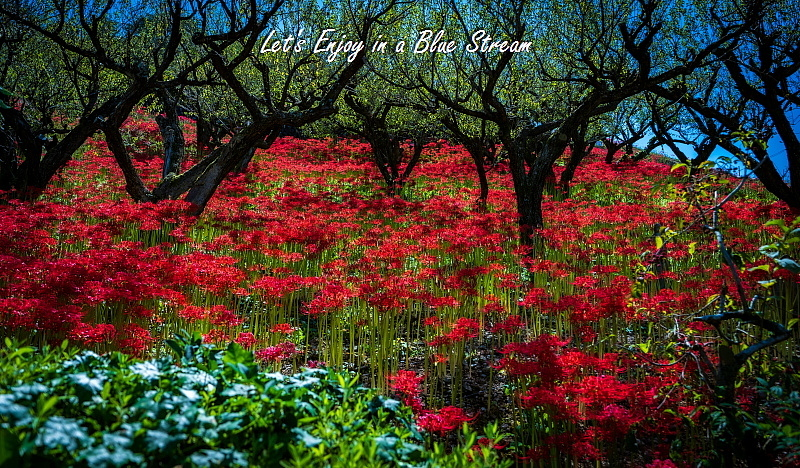 Red Spider Lily_c0339900_20400094.jpg