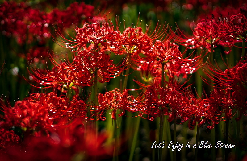 Red Spider Lily_c0339900_20402540.jpg