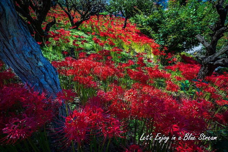 Red Spider Lily_c0339900_20415820.jpg