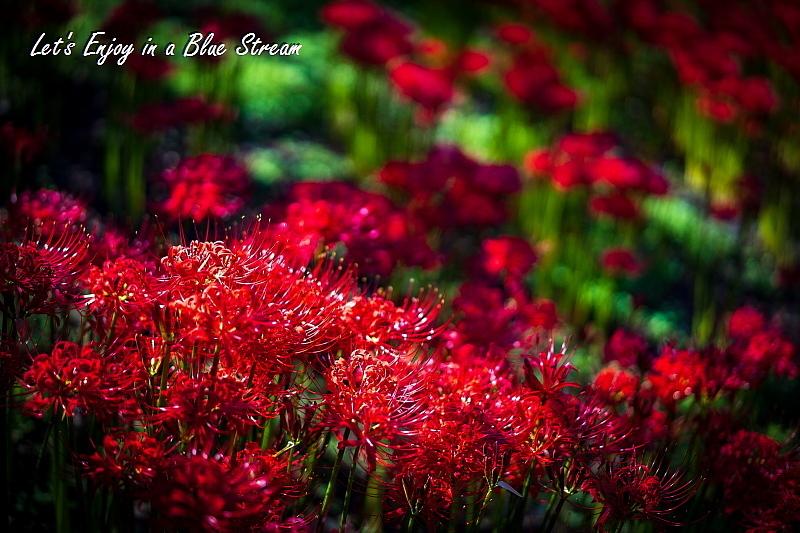 Red Spider Lily_c0339900_20435412.jpg