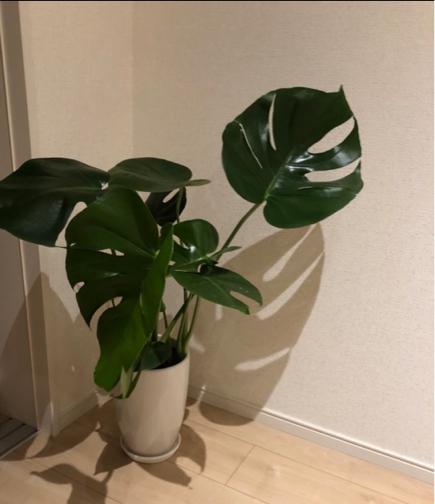 リビングにお勧めの観葉植物。ついでの大掃除と配置換えでリフレッシュ♪_f0023333_23465320.jpg