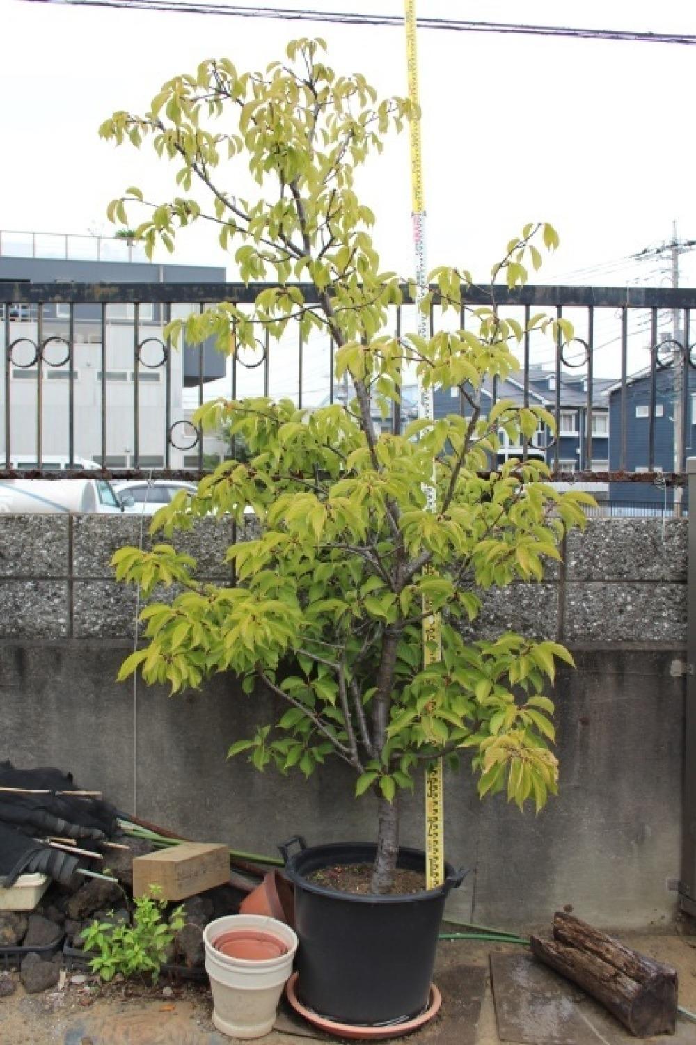 河津桜 カワヅザクラ 美品 販売 画像 写真 値段 価格 庭木 安行 植木 シンボルツリー お問い合わせ商品_a0254743_12524905.jpg
