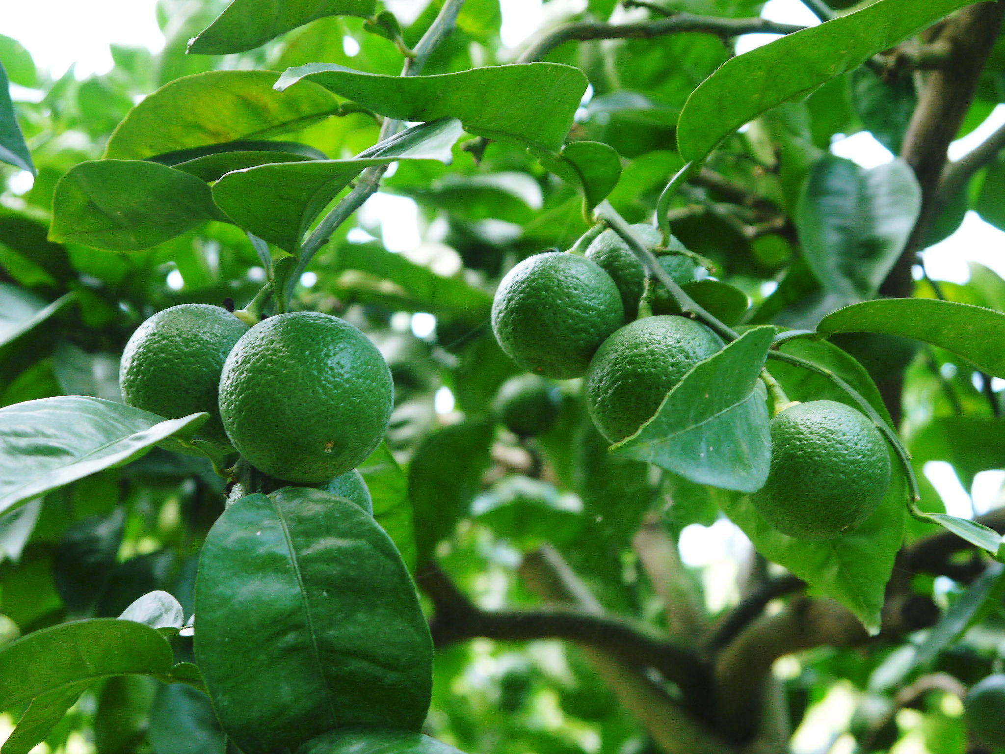 種なしかぼす好評販売中!令和3年もハイペースで出荷中!青い果実は10月中!色づいた果実は11月中旬から_a0254656_17512964.jpg