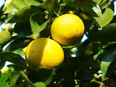 種なしかぼす好評販売中!令和3年もハイペースで出荷中!青い果実は10月中!色づいた果実は11月中旬から_a0254656_17560240.jpg