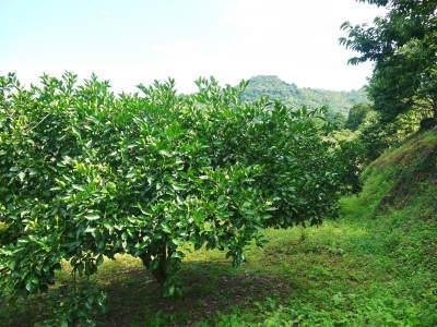 種なしかぼす好評販売中!令和3年もハイペースで出荷中!青い果実は10月中!色づいた果実は11月中旬から_a0254656_18043060.jpg