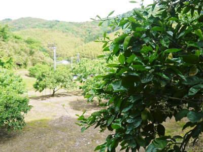 種なしかぼす好評販売中!令和3年もハイペースで出荷中!青い果実は10月中!色づいた果実は11月中旬から_a0254656_18115112.jpg