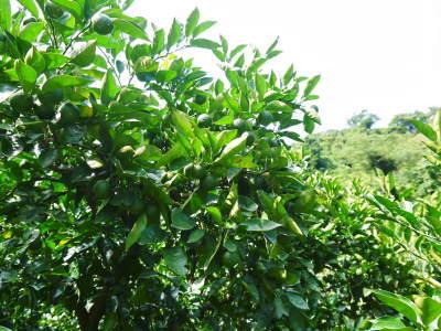 種なしかぼす好評販売中!令和3年もハイペースで出荷中!青い果実は10月中!色づいた果実は11月中旬から_a0254656_18144438.jpg