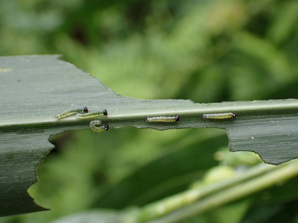 地元でクロコノマチョウの卵から蛹まで観察_e0224357_21265302.jpg