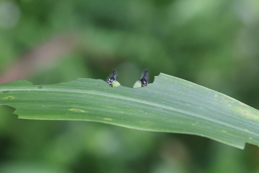 地元でクロコノマチョウの卵から蛹まで観察_e0224357_21312855.jpg