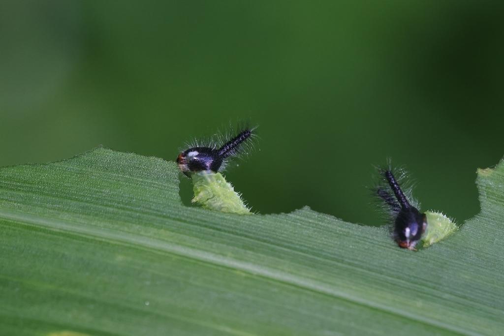 地元でクロコノマチョウの卵から蛹まで観察_e0224357_21315264.jpg