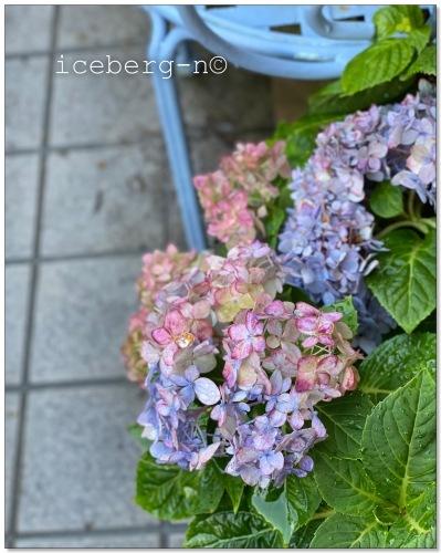 四季咲き紫陽花♡_e0366161_20202899.jpeg