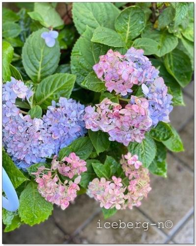 四季咲き紫陽花♡_e0366161_20210613.jpeg
