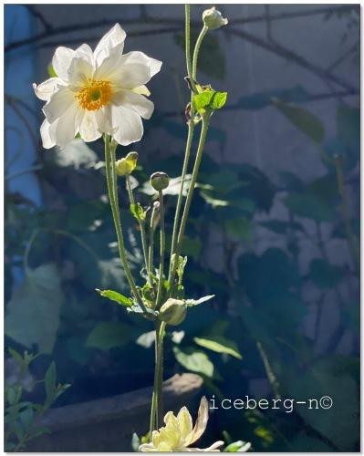 四季咲き紫陽花♡_e0366161_20440404.jpeg