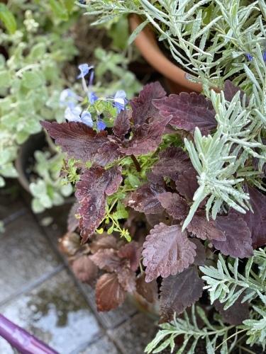 四季咲き紫陽花♡_e0366161_20454568.jpeg
