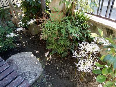 実践人の家 今、白い彼岸花が咲いています。_c0394693_13305413.jpg